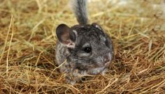 Want a Pet Chinchilla? Everything You Need to Know about the Rodent