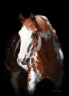 Sierra Supreme - 28 year old APHA Stallion