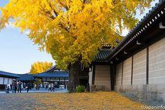 "Japaninfo added 25 new photos to the album: ""Sakasa-icho""แปะก๊วยอายุ 400 ปี@วัด Nishi Hongan-ji/Kyoto — at 龍谷山 本願寺(西本願寺)."