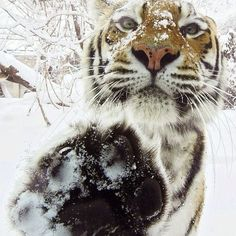 @9gags photo: Tiger high five