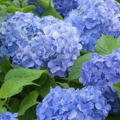 Hydrangea macrophylla 'Blue Danube' easy to grow, will grow in sun or shade, and in most different types of soil. Although, remember that an acidic soil will give blue flowers, whereas an alkaline soil will produce pink blooms!