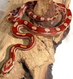 corn snake. Love all the morphs breeders come up with.