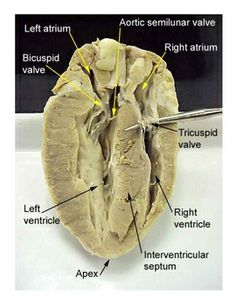 Cow eye dissection labeled cow eye sagittal section biology 100 directions for doing a simple sheep heart dissection great for groups of 4 which cuts ccuart Choice Image