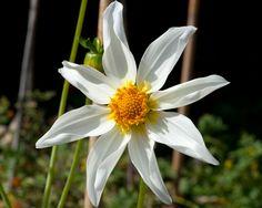 Name: Honka Wit (#2729) Classification: Orchideenblütige Dahlie einfach Color: weiß, gelbe Mitte Height: circa 90 cm Blossom size: 5 cm - 10 cm Grower, Year Ruiten, Jan v. (RuRo-Plant) (Netherlands), 2008