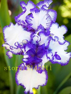 50pcs/bag pink iris seeds,bearded iris seeds,rare bonsai iris Phalaenopsis Orchid flower seeds,Nature plants for home garden  $0.50 / pack