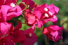 Barbara Karst Bougainvillea by front window.  Loves full sun, draught tolerant, has thorns to prevent folks from going to the window. Deer don't like it.  Perfect!