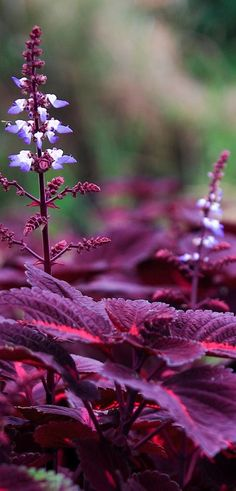 Coleus in blossom • photo: Fred Huang on Flickr