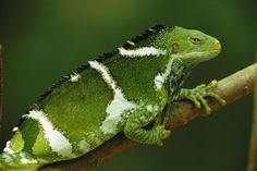 Fijian Crested Iguana - critically endangered :(