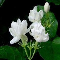 - Jasmine 'Arabian Knights' Jasminum Sambac ~ Hawaiian Pikake ~ - 2 to 3 Feet Tall - Ship in 1 Gal Pot Tropical Flowers, White Flowers, Exotic Flowers, Arabian Jasmine, Bonsai Nursery, Sampaguita, Arabian Knights, Jasmine Plant, Jasmine Tea
