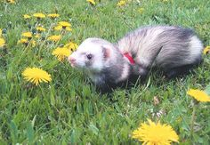 Ferrets Running Wild In An Outdoor Holding Pen, SmallAnimalChannel.com