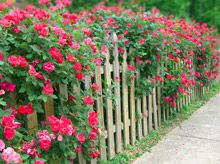 Double knockout roses - bloom spring through fall ~ Oh Yea!  LOVE