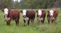 polled herefords - Google Search
