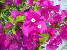 Comment faire fleurir et refleurir une bougainvillée. Conseils d'entretien pour chaque mois de l'année.