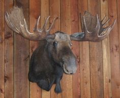 Taxidermy Moose Head Mount Mounted Full Shoulder Moose Head