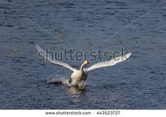 Stock Photo: Whooper swan (Cygnus cygnus) taking off from a lake on a sunny spring day in Finland.