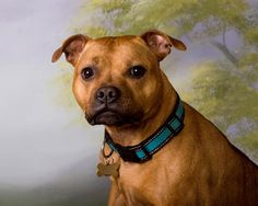 "Khloe - Our ""gentle soul"", lol. Purebred, registered Staffordshire Bull Terrier"