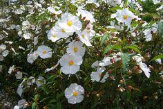 Cistus x hybridus - Cistus corbariensis - Sun Rose