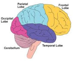 A diagram of the brain with the general lobes. Brain Diagram, Occipital Lobe, Dr Mike, Frontal Lobe, Science Standards, Traumatic Brain Injury, Pinterest Projects, Smarty Pants, Our Body