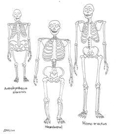 Neanderthaler skelet naast het skelet van de moderne mens