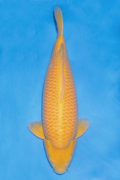 1000 images about koi varieties on pinterest koi showa for Koi carp varieties