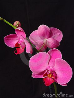 Perfect Pink Orchids by Lisa F. Young, via Dreamstime