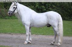 Finnhorse - stallion E.V. Jovankka