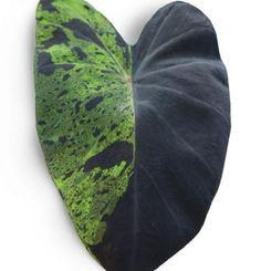 Colocasia esculenta 'Mojito' | Fine Gardening Purple Plants, Colorful Plants, Shade Plants, Black Elephant Ears, Bushes And Shrubs, Elephant Ear Plant, Fine Gardening, Container Gardening, Plant Guide