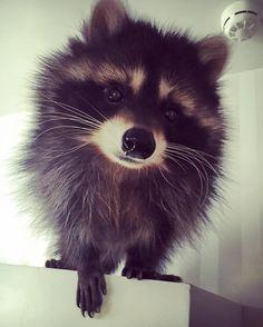 Смотрите это фото от @raccoon_fedor на Instagram • Отметки «Нравится»: 6,814
