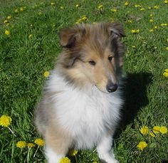 Are You a Collie Person?: Find out if this bright companion is right for you. | Dog Fancy