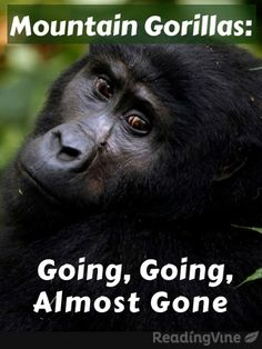 Mountain Gorillas: Going, Going, Almost Gone - Free, printable reading comprehension activity for 4th-5th grade!