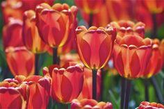 Red, Orange, and YellowTulips