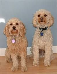 Image result for cockapoo