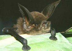 sucker-footed bat madagascar