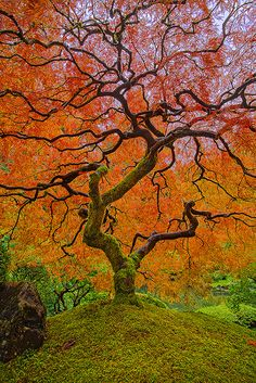Japanese Maple's Autumn beauty at a Portland Japanese Garden. Image Nature, All Nature, Amazing Nature, Tree Forest, Belle Photo, Pretty Pictures, Beautiful Landscapes, Beautiful World, Autumn Leaves