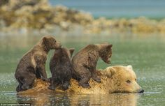 Bear-back: These young cubs know how to cross a river in style - and that's to ride across...