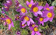 Rockery plants: Top 10 plants for an alpine rock garden - Pulsatilla vulgaris is also known as the Pasque flower. It has frilly leaves and hairy stems bearing bell-shaped flowers. It also produces lovely silken seed heads. Rockery Garden, Gravel Garden, Water Garden, Alpine Garden, Alpine Plants, Rock Garden Design, Flower Garden Design, Rock Garden Plants, Garden Stones