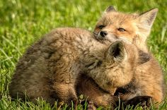 Red Fox Kits   David Clippinger   Flickr