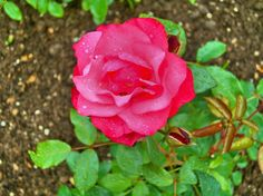 A rose in a botanic garden in Frankfurt, Denmark.
