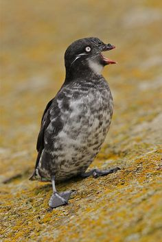 Least Auklet - breed on the islands of Alaska and Siberia, and spend the winter close to the edge of the ice sheet. They are the most abundant seabird in North America, and one of the most abundant in the world, with a population of around nine million birds.