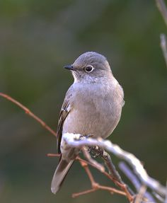 """Townsend's Solitaire~N.E. USA (Rare)  Although common in Alaska, Canada, Colorado, Arizona and New Mexico, the Townsend's Solitaire is an extremely rare visitor to the Eastern United States. In the state of New Jersey, there had been only four confirmed sightings according to """"Birds of New Jersey"""" (published by New Jersey Audubon 1999). The one pictured here has been seen at Sandy Hook, N.J. - By William Dalton"""