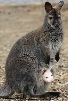 """An albino wallaby, named """"Pino"""", looks out from his mother's pouch at """"Le Cornelle"""" zoo park in Valbrembo near Bergamo."""