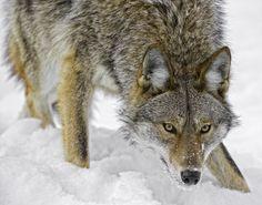 Coyote https://www.youtube.com/watch?v=uXfXrl4K2D4