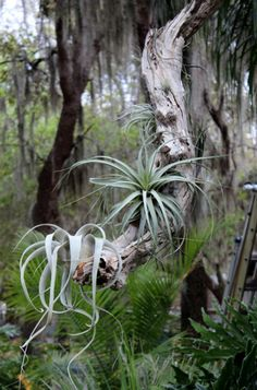 Our Tillandsia on driftwood display.