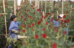 Newsela | The South American country will export 500 million flowers for the occasion.