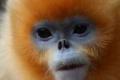 Golden Snub-Nosed Monkey - Rhinopithecus Roxellana