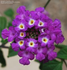 View picture of Lantana 'Luscious Grape' (Lantana camara) at Dave's Garden.  All pictures are contributed by our community.