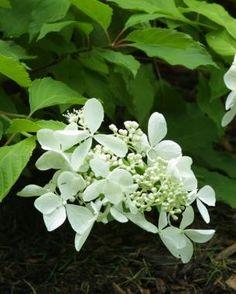 hydrangea garden care Pruning Hydrangeas F - Hydrangea Garden, Garden Shrubs, Flowering Shrubs, Hydrangea Shrub, Hydrangea Flower, Fine Gardening, Hydroponic Gardening, Organic Gardening, Vegetable Gardening