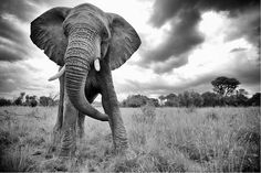 Elephant Standoff by Shannon Wild. African Elephants (Loxodonta africana), Waterberg, South Africa