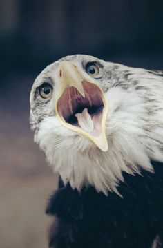 An eagle with something to say