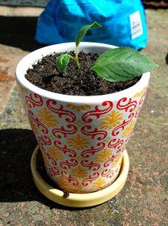 how to propagate a fuchsia plant